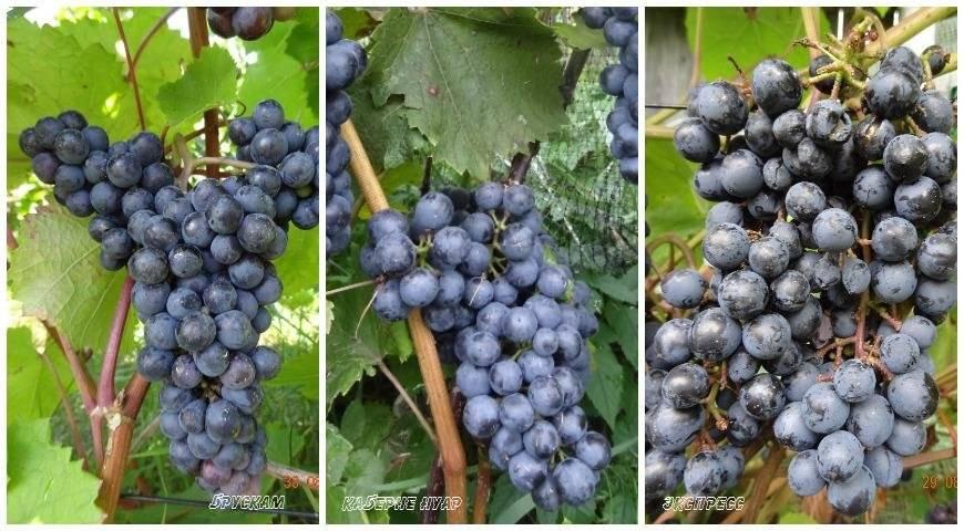 Обзор мускатного вина