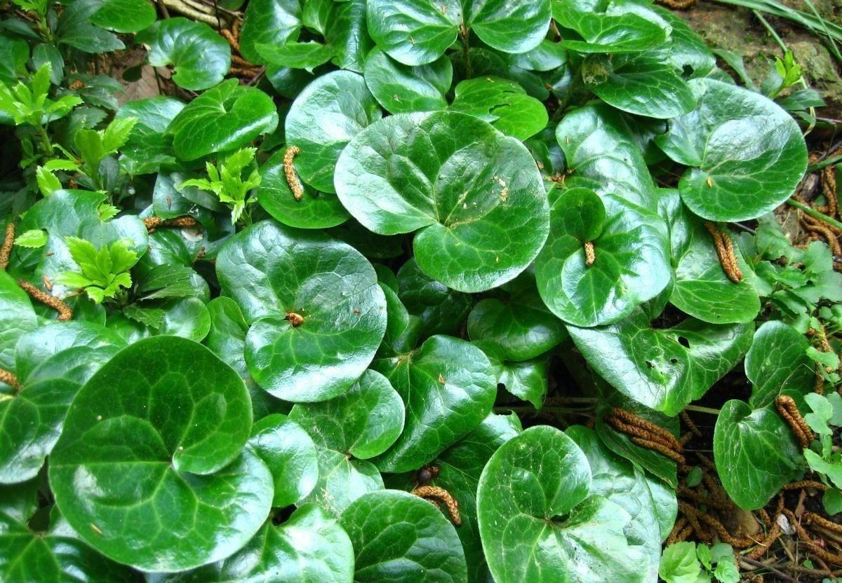 Копытень - лечебные свойства растения и рецепты