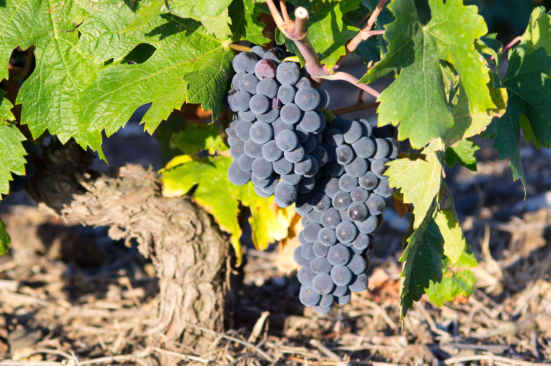 Сорта винограда на х, ц