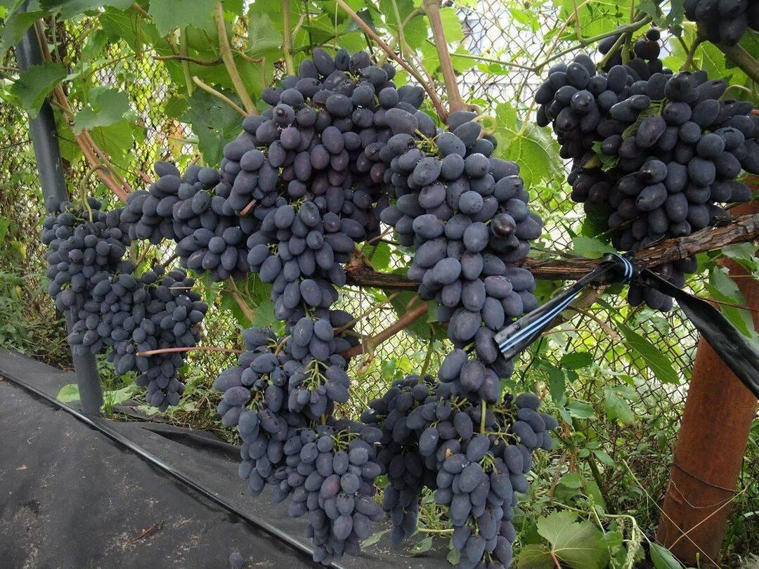 Описание и фото технических (винных) сортов винограда