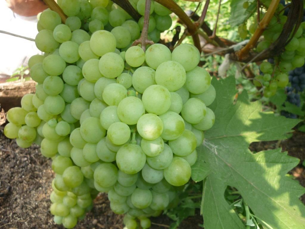 Уборка урожая винограда и средства механизации