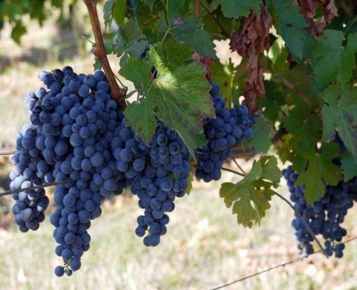 Сорта винограда для вина-лучшие представители.