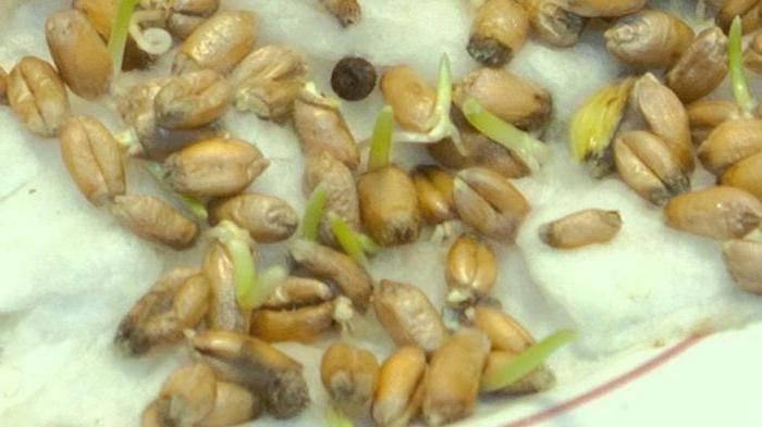 Приготовление самогона из пророщенной пшеницы