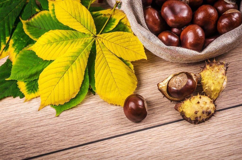 Каштан конский – лечебные свойства настойки и другие рецепты