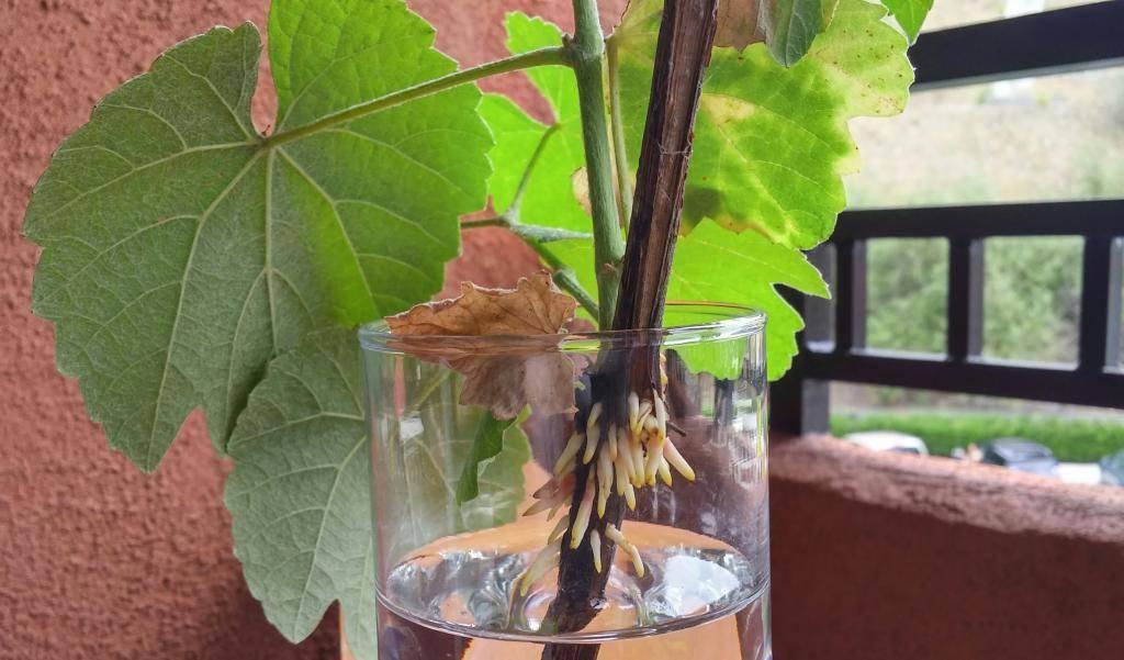 Как вырастить виноград из косточки в домашних условиях: видео, фото