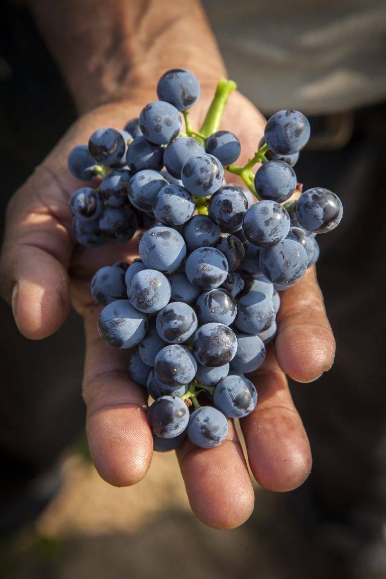 Сорта винограда на з, и, й