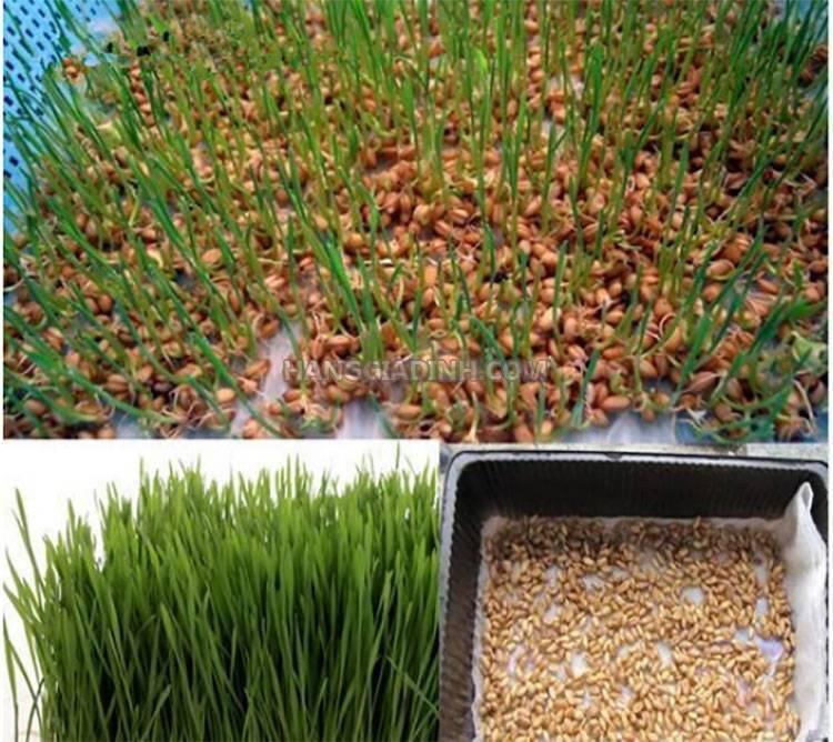 Как вырастить пшеницу в домашних условиях. выращивание ростков пшеницы дома. как вырастить пшеницу в домашних условиях