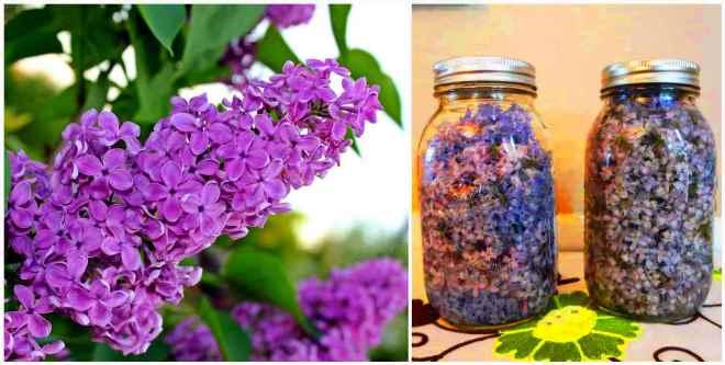 Настойка цветов сирени на водке + применение и лечение суставов