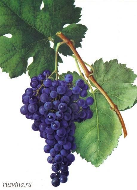 Автохтонные сорта винограда – гарантия успеха крымских вин | керкинитида евпатория история с древних времен, до наших дней отдых и лечение в евпатории