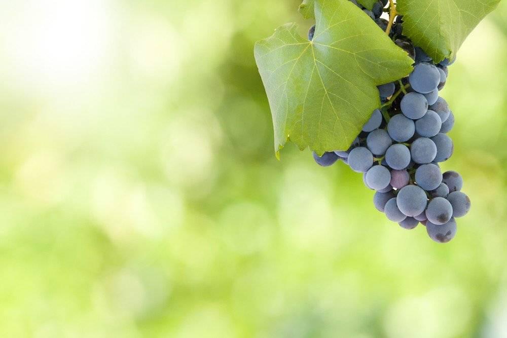 Теплолюбивый высокоурожайный сорт винограда гарнача (гренаш)