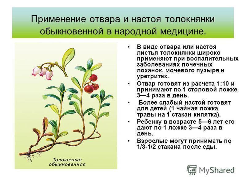 Толокнянка: полезные свойства и противопоказания для женщин и мужчин