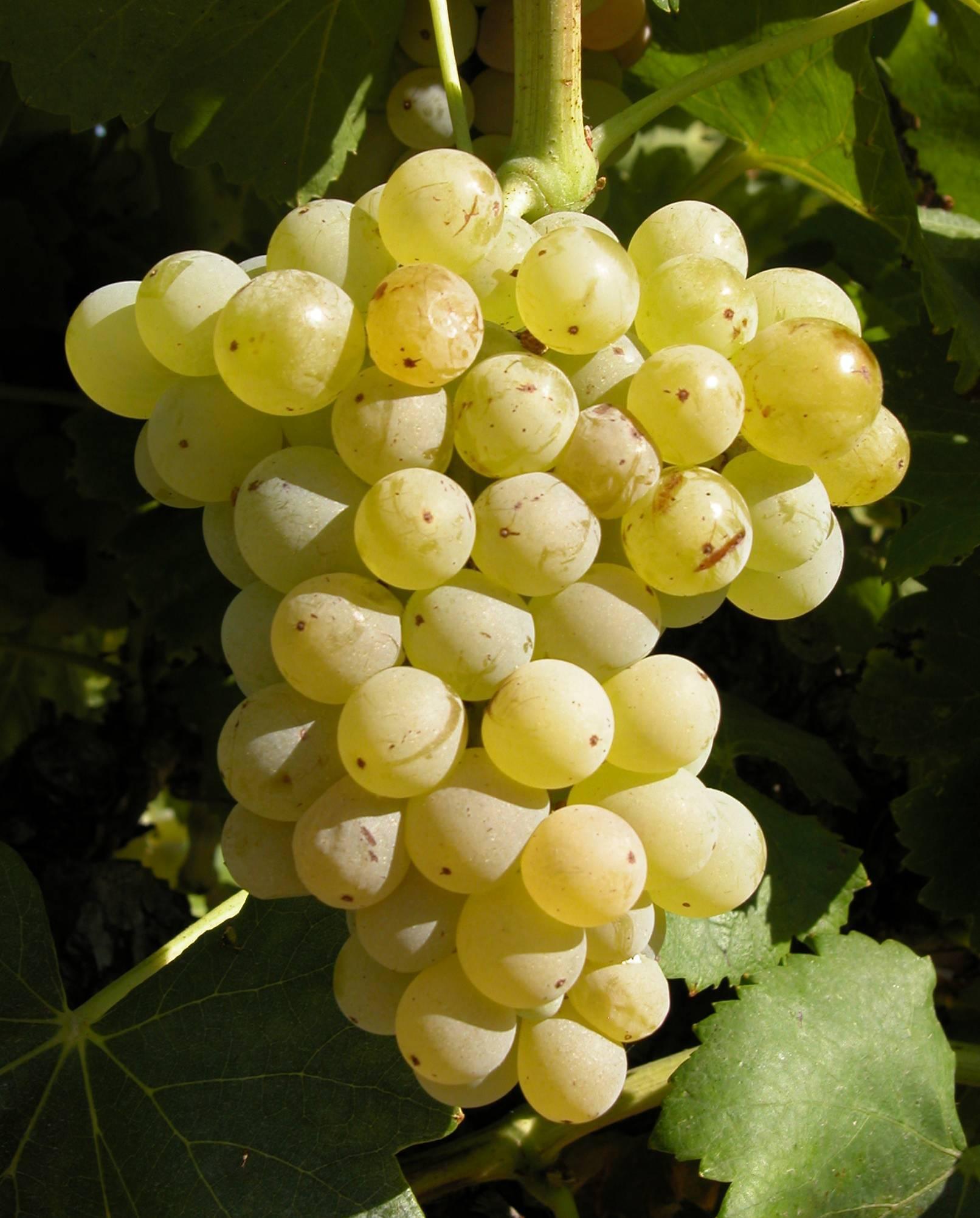 Сорта винограда по алфавиту (от а до я) с фото и описанием